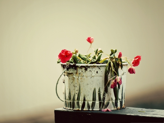 fading-flower-picture-roses-lowering-down-fading-and-unproud
